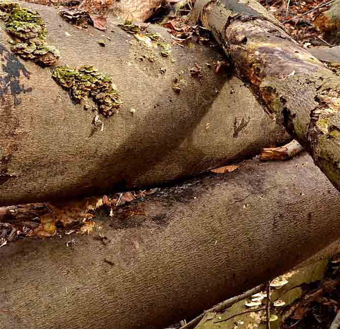 Gradual mulching of fallen trees